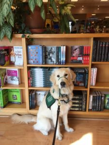 "Male golden retriever Dodson sits in front of a bookshelf in an Austin bookshop called ""Book People"""